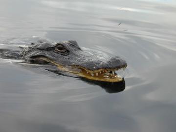 alligator_sm